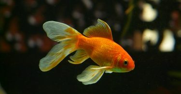 20 safe and compatible goldfish tank mates