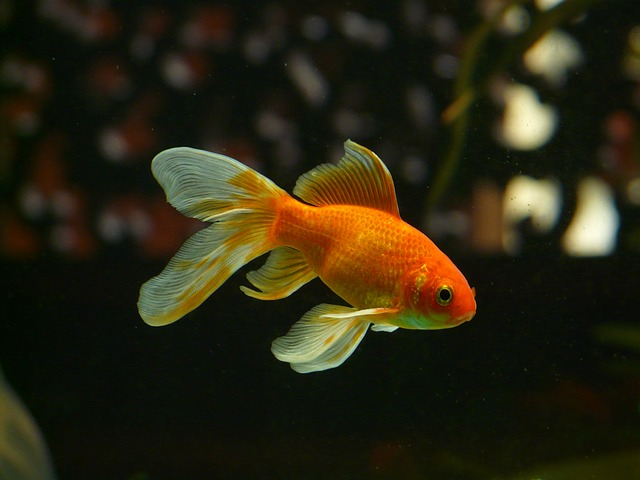 20 safe and compatible goldfish tank mates