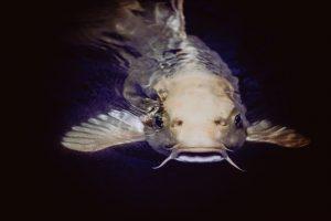 bottom feeder fish
