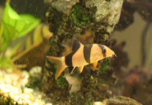 loaches fish