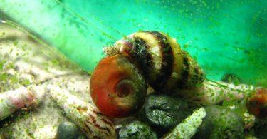 assassain snail