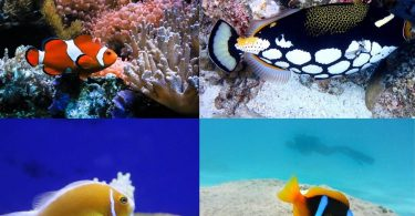 types of clown fish
