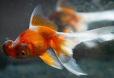 does gold fish sleep
