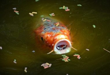 what does a koi fish eat