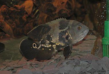 lutino oscar fish turning black