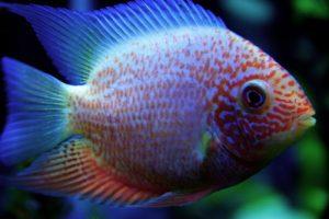 how long do cichlid live