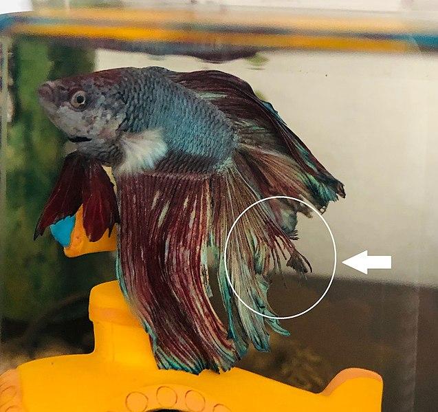 betta fish fin curling