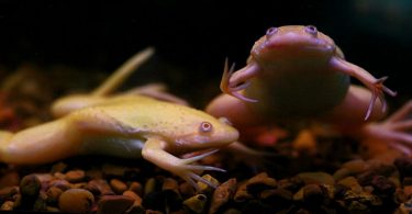 bloated african clawed frog
