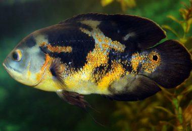 oscar fish sleep on its side