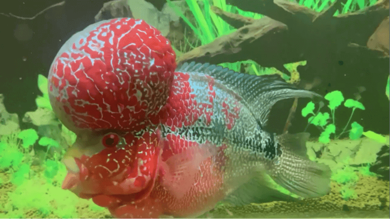 fish that have bump on their head