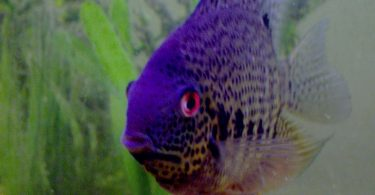 red eyes in fish