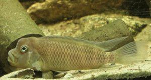 how long cichlids live