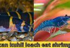 can kuhli loach eat shrimp