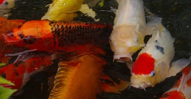 can koi and and goldfish breed together