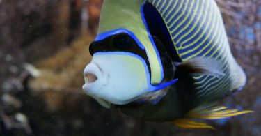fat angelfish