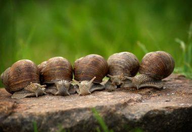 do snails outgrow their shell